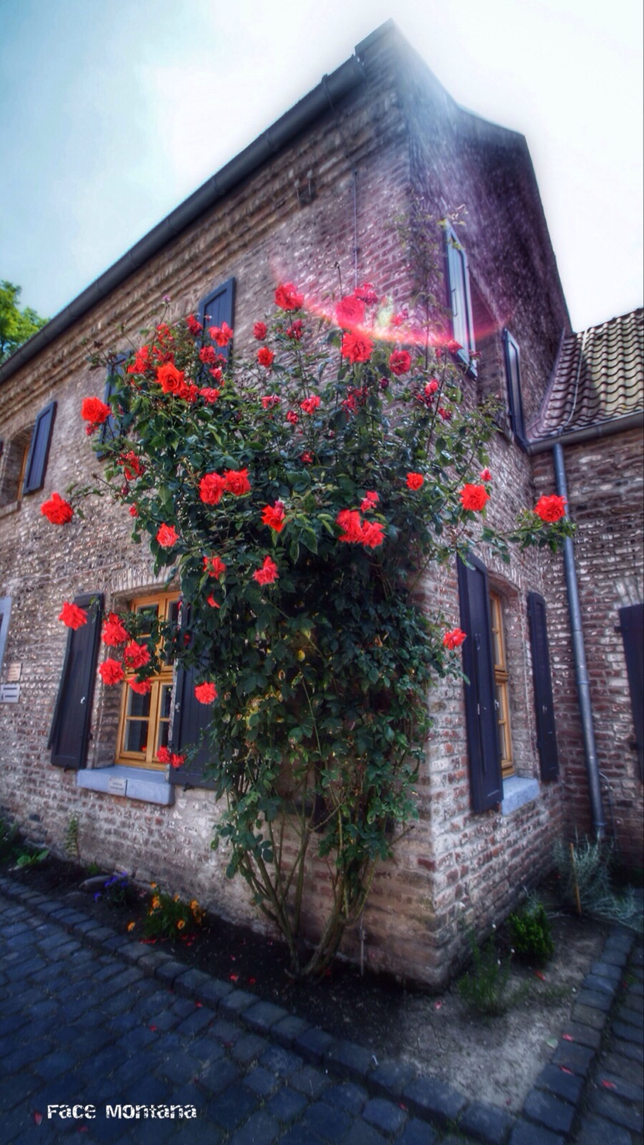 building exterior, architecture, built structure, red, flower, house, plant, growth, low angle view, freshness, sky, day, outdoors, tree, no people, window, residential structure, nature, residential building, wall - building feature