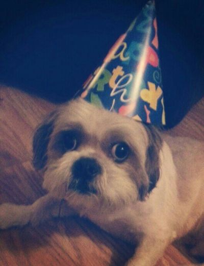 HappyBirthday I Love My Dog Shih Tzu Prince Happiness♥ Cutest Dog Ever