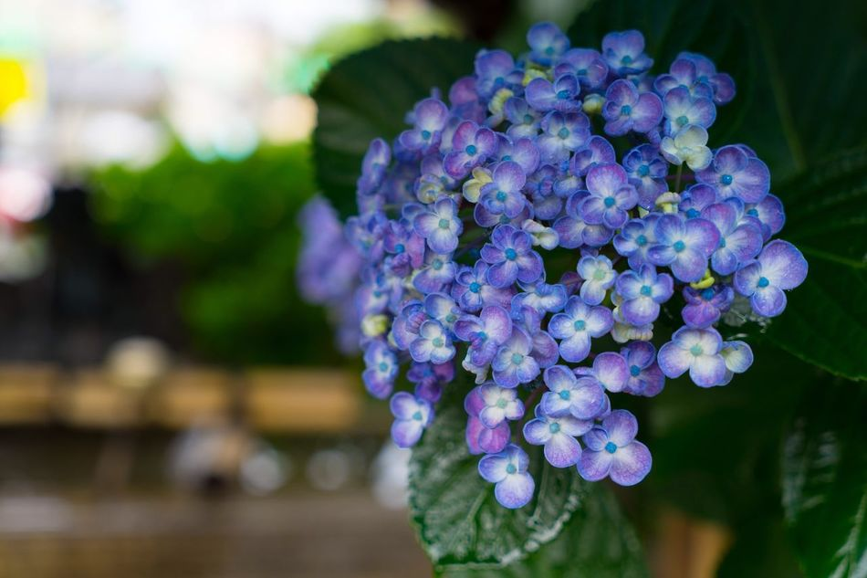 Hydrangea Hydrangea Hydrangea Flower Flowers Flower Flower Collection Flowers, Nature And Beauty Eye4photography  EyeEm Gallery EyeEm Best Shots EyeEm EyeEmBestPics Eyemphotography Eyeemphotography Eyem Best Shots EyeEmbestshots Take Photos Taking Photo Taking Pictures Taking Photos Landscape Landscape_Collection Landscape_photography Landscapes EyeEm Flower Eye Em Nature Lover