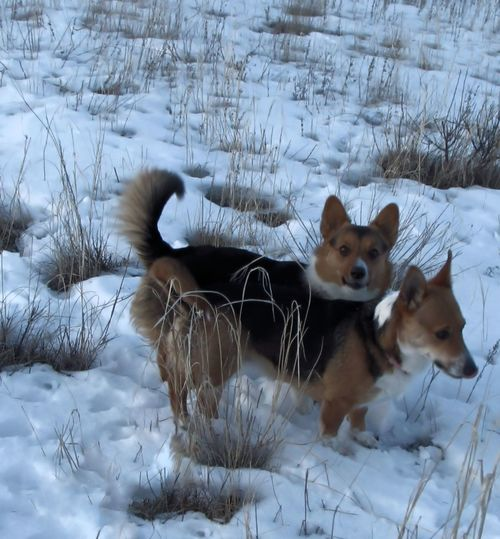 Animal Animal Themes Cold Cold Days Coldweather Corgi Cute Cute Dog  Cute Pets Cute♡ Day Dog Dogs Dogslife Domestic Animals Mammal No People Pet Pets Snow Snow ❄ Two Animals Welsh Corgi