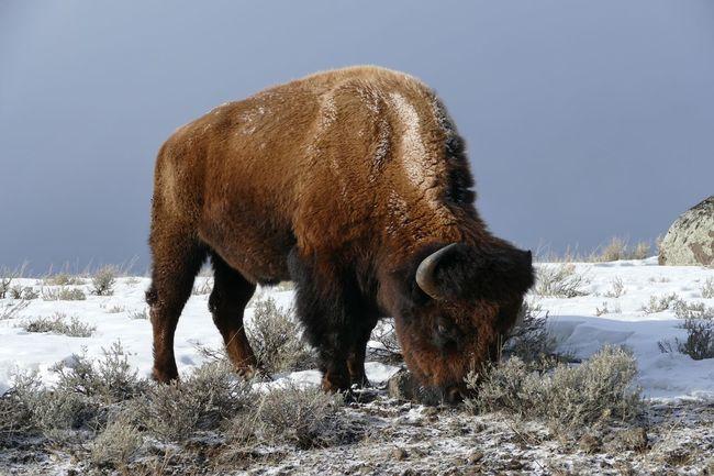 Bison Buffalo Yellowstone Yellowstone National Park Yellowstone Wildlife Yellowstone Winter Lumix Fz1000