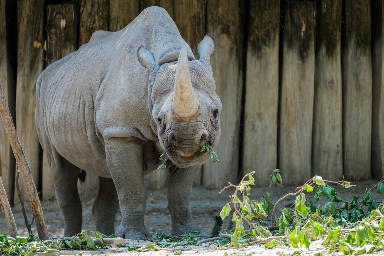 one animal, animals in the wild, animal wildlife, mammal, animal themes, outdoors, no people, day, nature, safari animals, rhinoceros, close-up, animal trunk
