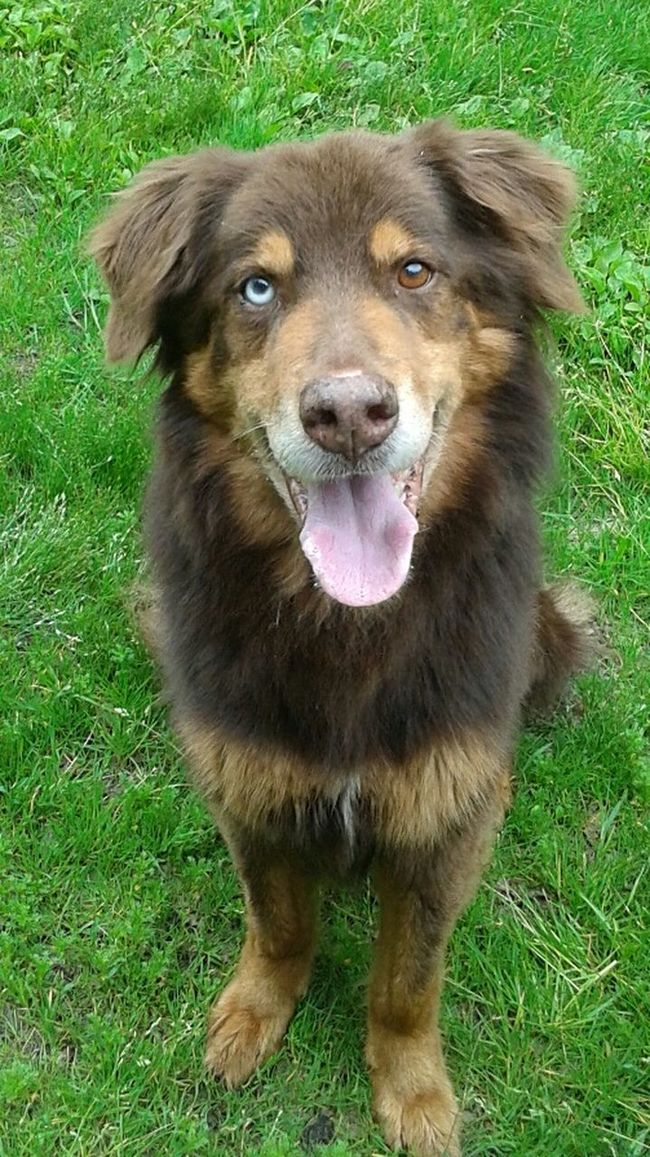 Can you beleive this beautiful boy is 15 yrs old? I can't! This is Junior he was brought to the spca because his owner passed away! How sad 😢 Old Dogs Rule Old Dogs Need Love Too. Rescue Seniors. Collie Pincher Mix Old Boy Happy Excited Has A New Family On A Farm Spca Moncton Mutts