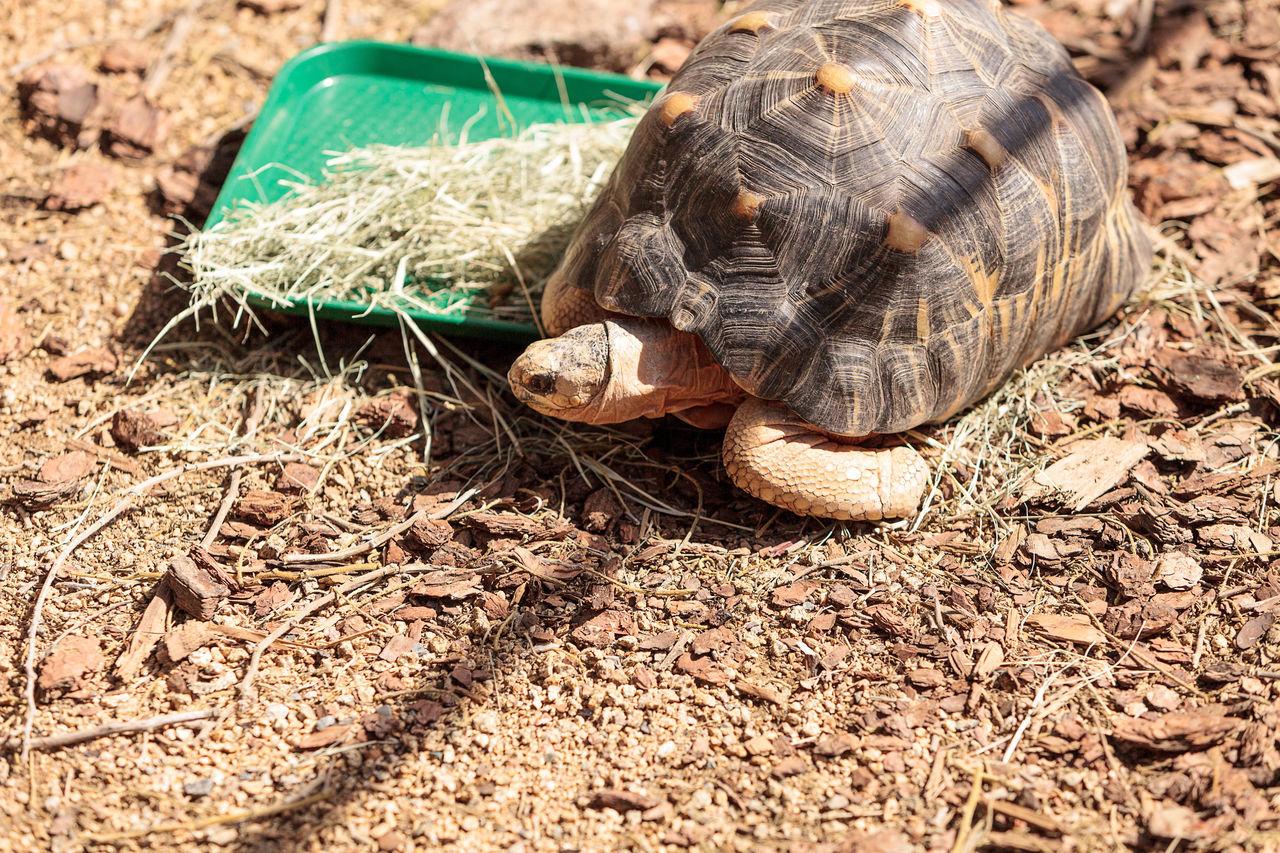 Radiated tortoise scientifically known as Astrochelys radiata is found in Madagascar. Astrochelys Radiata Desert Herp Herpetology Madagascar  Pet Radiated Tortoise Reptile Tortoise