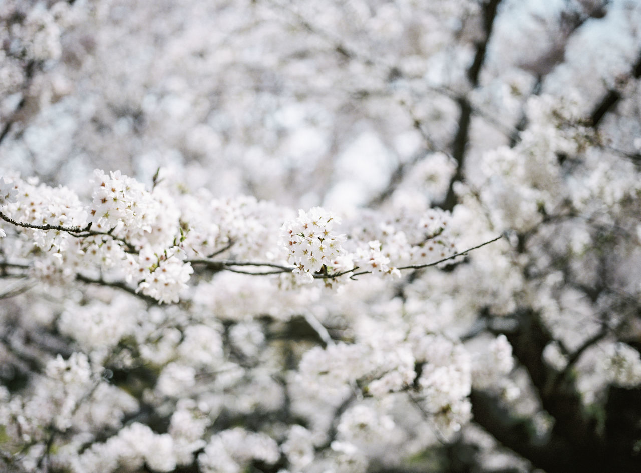 cherry blossom, flower, blossom, fragility, white color, apple blossom, tree, cherry tree, nature, springtime, beauty in nature, apple tree, freshness, almond tree, growth, botany, orchard, no people, branch, day, close-up, outdoors, flower head