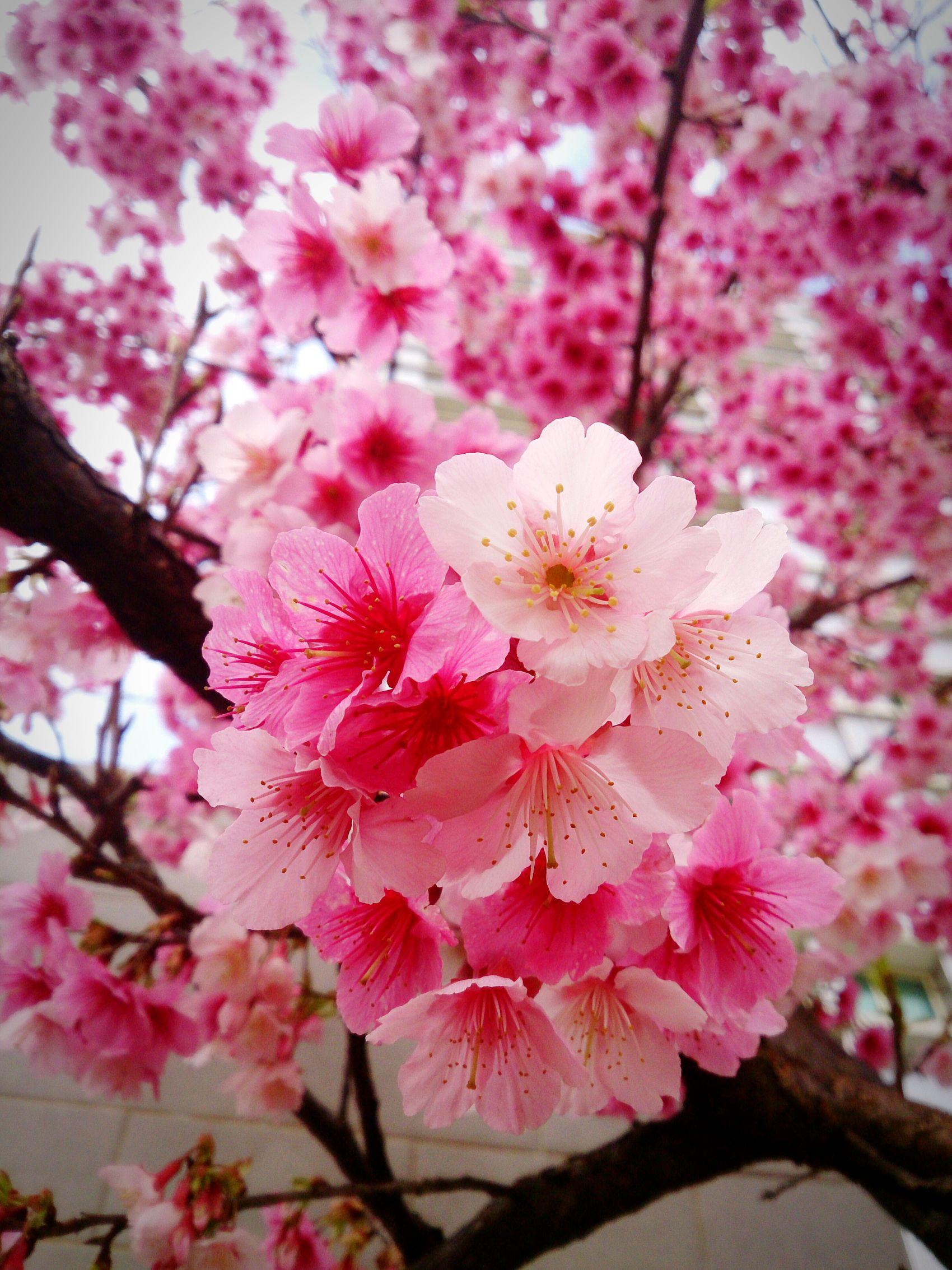 風大的午後,來跟櫻花打招呼 Sakura 龜山 EyeEm Best Shots