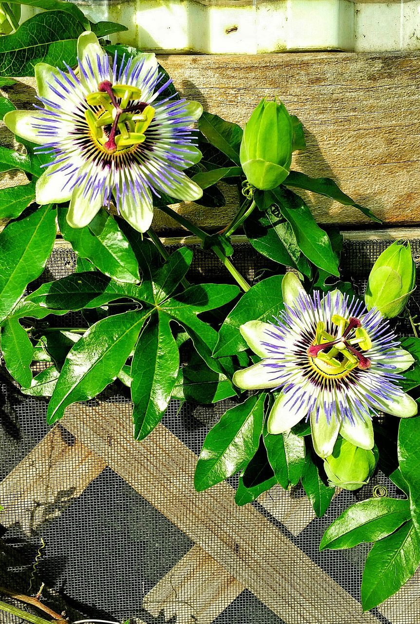 flower, petal, fragility, freshness, growth, flower head, beauty in nature, passion flower, pollen, plant, nature, day, leaf, high angle view, outdoors, blooming, no people, close-up