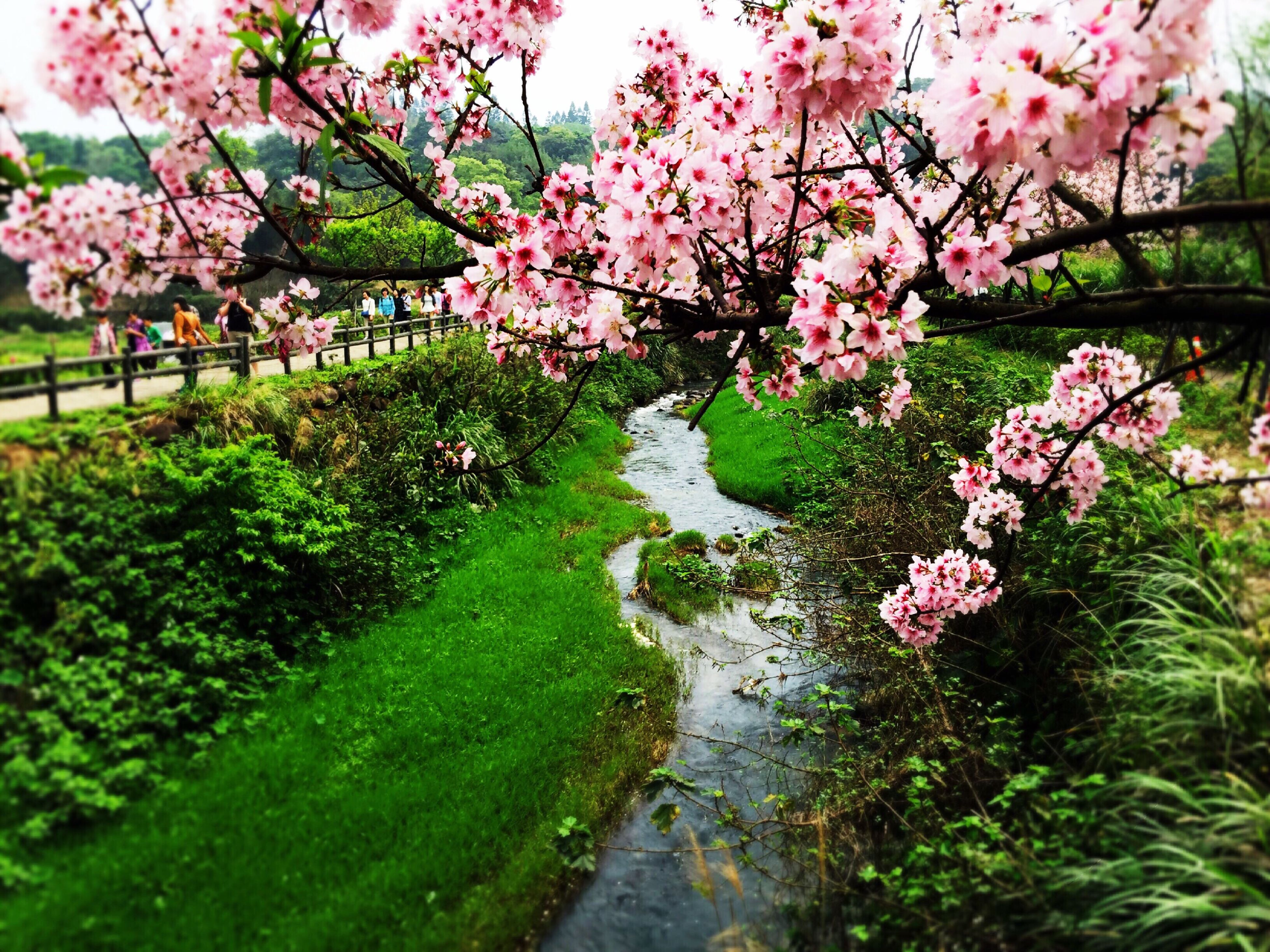 flower, freshness, growth, tree, beauty in nature, pink color, nature, branch, fragility, blossom, park - man made space, plant, green color, blooming, in bloom, cherry blossom, tranquility, day, cherry tree, springtime