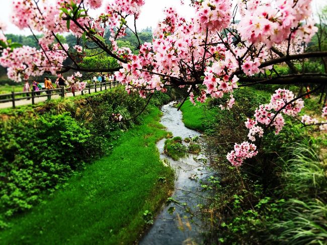 Cherry blossoms in spring春の桜が咲く The View And The Spirit Of Taiwan 台灣景 台灣情