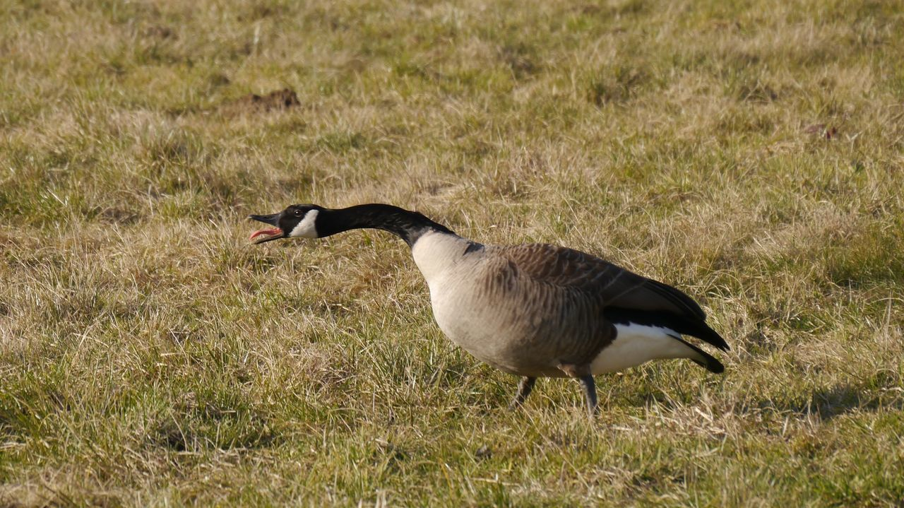 Goose attack Bird Animal Themes Animals In The Wild One Animal Grass Animal Wildlife Field Nature Beak Outdoors Beauty In Nature Close-up Animals EyeEm Gallery Branta Canadensis Kanadagänse Attack Tounge Out  Scream