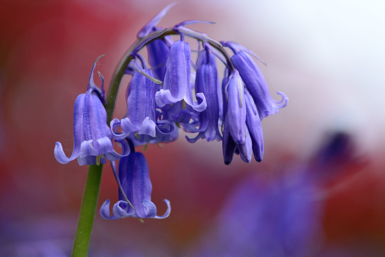 Beauty In Nature Bluebells Check This Out Close-up Day Eye4photography  EyeEm Best Shots EyeEm Gallery EyeEm Nature Lover Flower Flower Head Flowers Focus On Foreground Fragility Freshness Growth Macro Nature Nature_collection No People Outdoors Purple Spring Spring Flowers Taking Photos