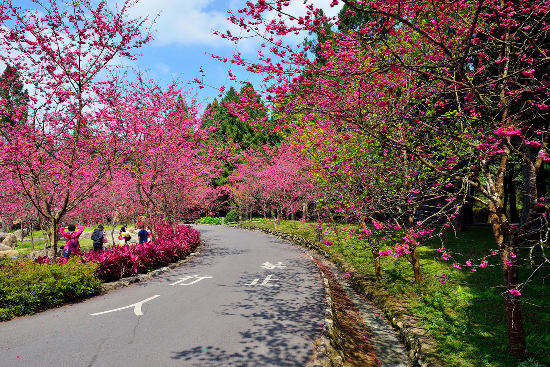 Beauty In Nature Blossom Branch Day Flower Growth Nature No People Outdoors Pink Pink Color Plant Road Sky The Way Forward Tree 九族文化村 台灣 性質 旅遊 櫻花