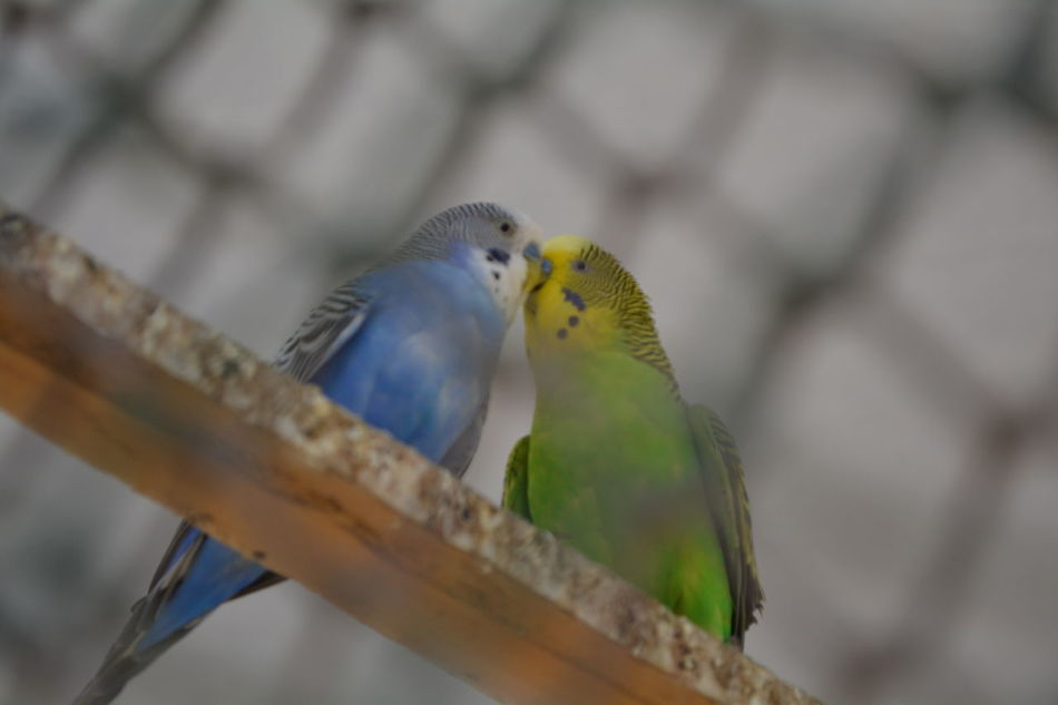 Beautiful Birds Best Shot Of My Life Best Shot Of The Week Birds Lover Blue Birds Check This Photo Eyem Best Shots Green Birds I'm No Beauty Beauty Queen I'm Just Beautiful Me <3 Kissing Birds Love In Nature Love Of Birds Nikon D5200 Zoo Photography  Showing Imperfection