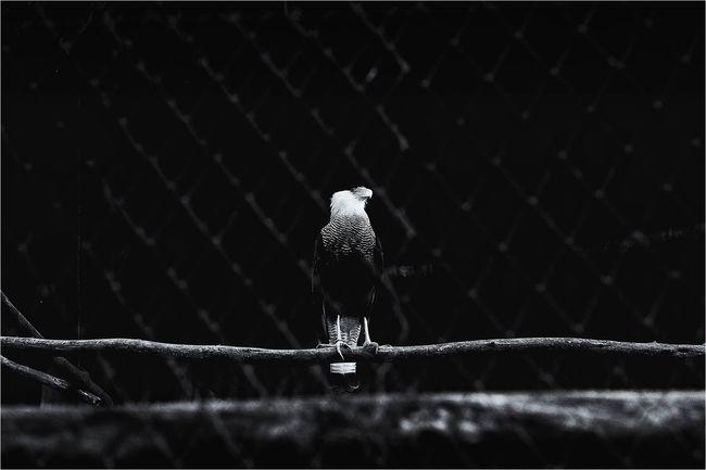 Zoo Blackandwhite Bw_collection Monochrome Eagle Blackandwithe
