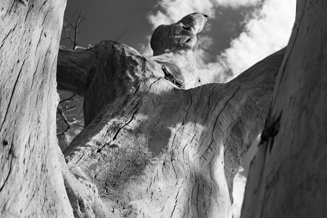 The deadly cottonwood, from a different perspective. Cottonwood Thephotographer Dead Tree Photography Tucson Az Blackandwhite Photography Ruraldecay Eyemphotography TheNightmareBeforeChristmas Death