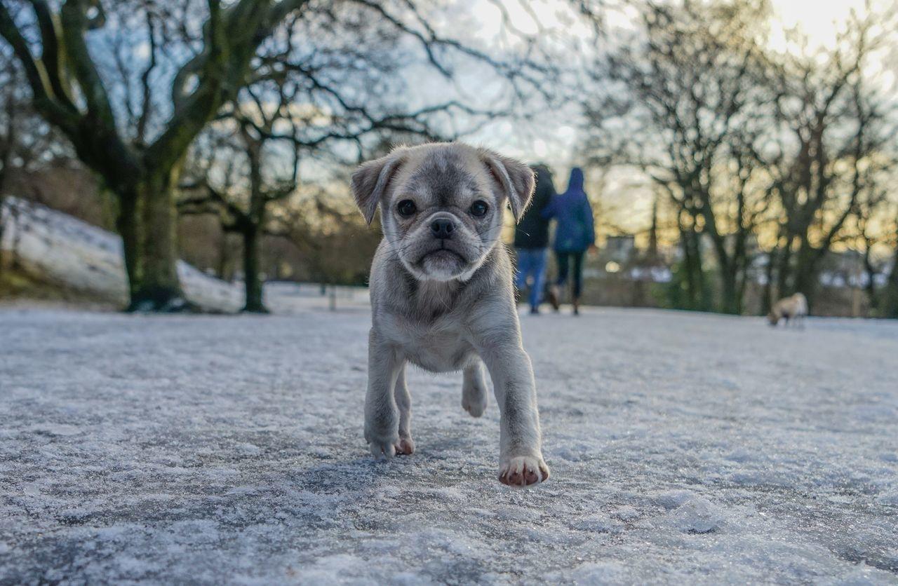 Puppy Winter Chug Life Dog Animal Themes Outdoors Snow Park Chug Portrait Domestic Animals Cute Cute Dog