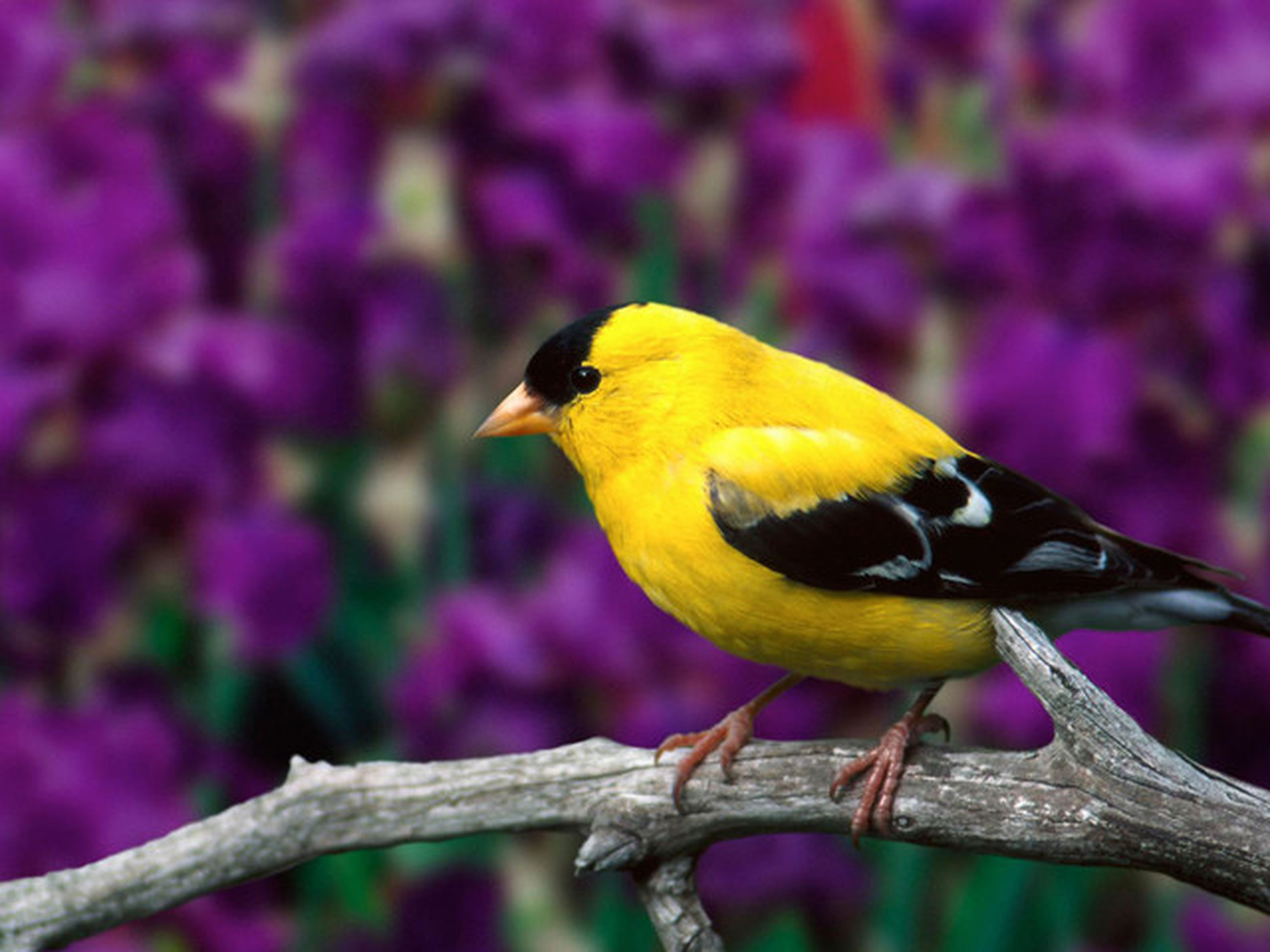 animal themes, animals in the wild, bird, one animal, wildlife, focus on foreground, perching, branch, close-up, nature, yellow, full length, beauty in nature, beak, outdoors, day, no people, tree, selective focus, side view