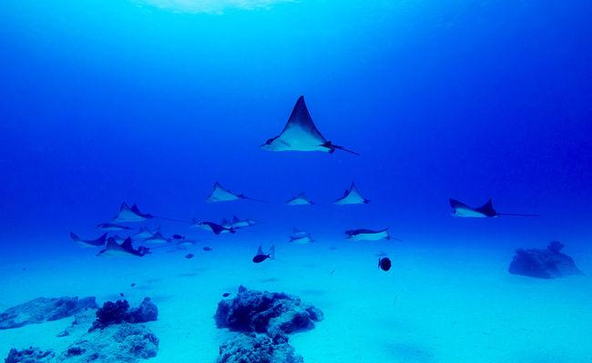파아란 나라의 나비떼. World Of Blue Butterflies Saipan Underwater Photography Eagleray Pipe Beauty In Nature Great Outdoors - 2016 EyeEm Awards Nature's Diversities Canon Hugyfot 550d Scuba Diving