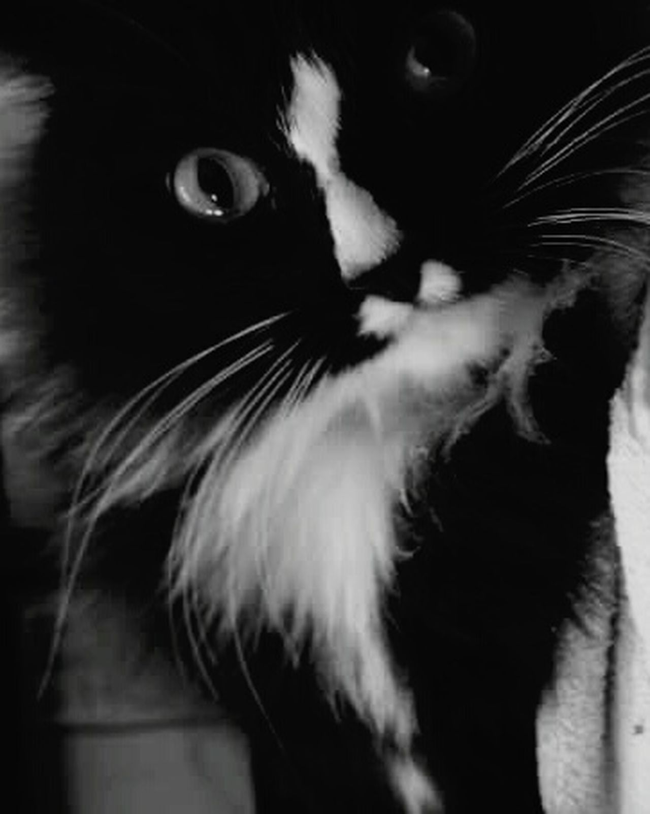 Animal Eye Feline Close-up Domestic Cat Pets One Animal Life Love Cat Cats Furry Purr Kitty Blackandwhite Blackandwhitecat Blackandwhitecat Tuxedo