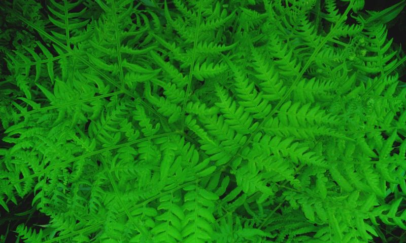 Showcase June Taking Photos In Forest Forest Plants Forestwalk Relaxing Green Green Leaves Close Up Nature Nature Photography Pattern In Nature Fern Leaves Fern