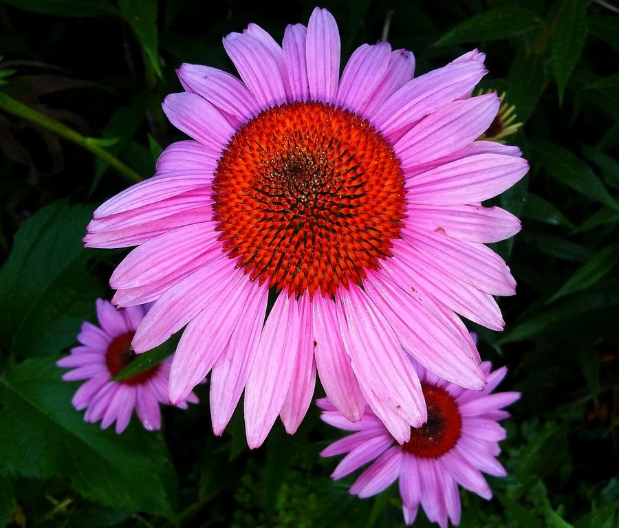 Flower Flower Head Petal Fragility Freshness Beauty In Nature Nature Plant Pollen Close-up No People Growth Outdoors Day Red Beauty Coneflower Check This Out Pretty♡ Picturejunkie Pink Color Morning