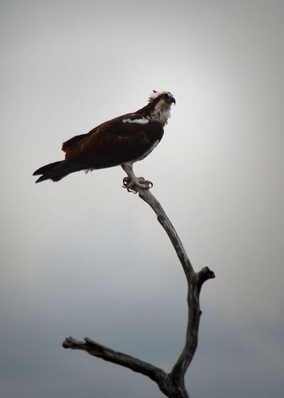 Animal Animal Themes Avian Beauty In Nature Bird Bird Of Prey Day Low Angle View Nature No People Osprey  Outdoors Perching Sky Tranquility Wildlife