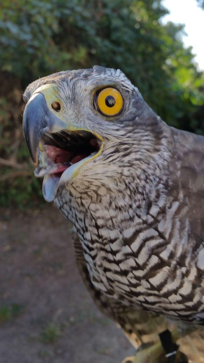 Hawkeyes Without Edit ^^ No Edit/no Filter Eagle - Bird Nature Animal Eye One Animal Animal Themes Hawkeye Beauty In Nature Majestic Bird Hawks Wildlife