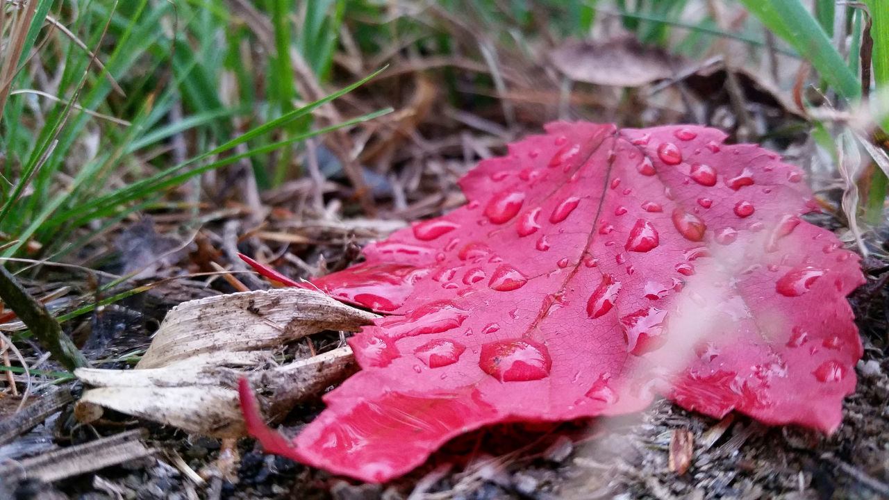 Drop Water Close-up Pink Color Wet Nature Beauty In Nature Fragility Growth Flower Freshness Pink Day Petal Outdoors Focus On Foreground In Bloom Red Blossom No People Fall Autumn Autumn Colors Autumn Leaves Leaf Season