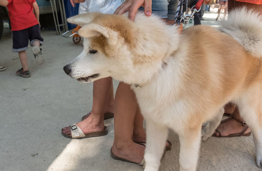 Akita Akita-inu Canine Chien Chiens Chien♥ Day Dog Dogs Dogs Of EyeEm Dogs_of_instagram Dogsofinstagram Dogstagram Domestic Animals Hund Hunde Liebe ♡ Leisure Activity Lifestyles Mammal Outdoors Part Of Pet Collar Pet Owner Pets Unrecognizable Person