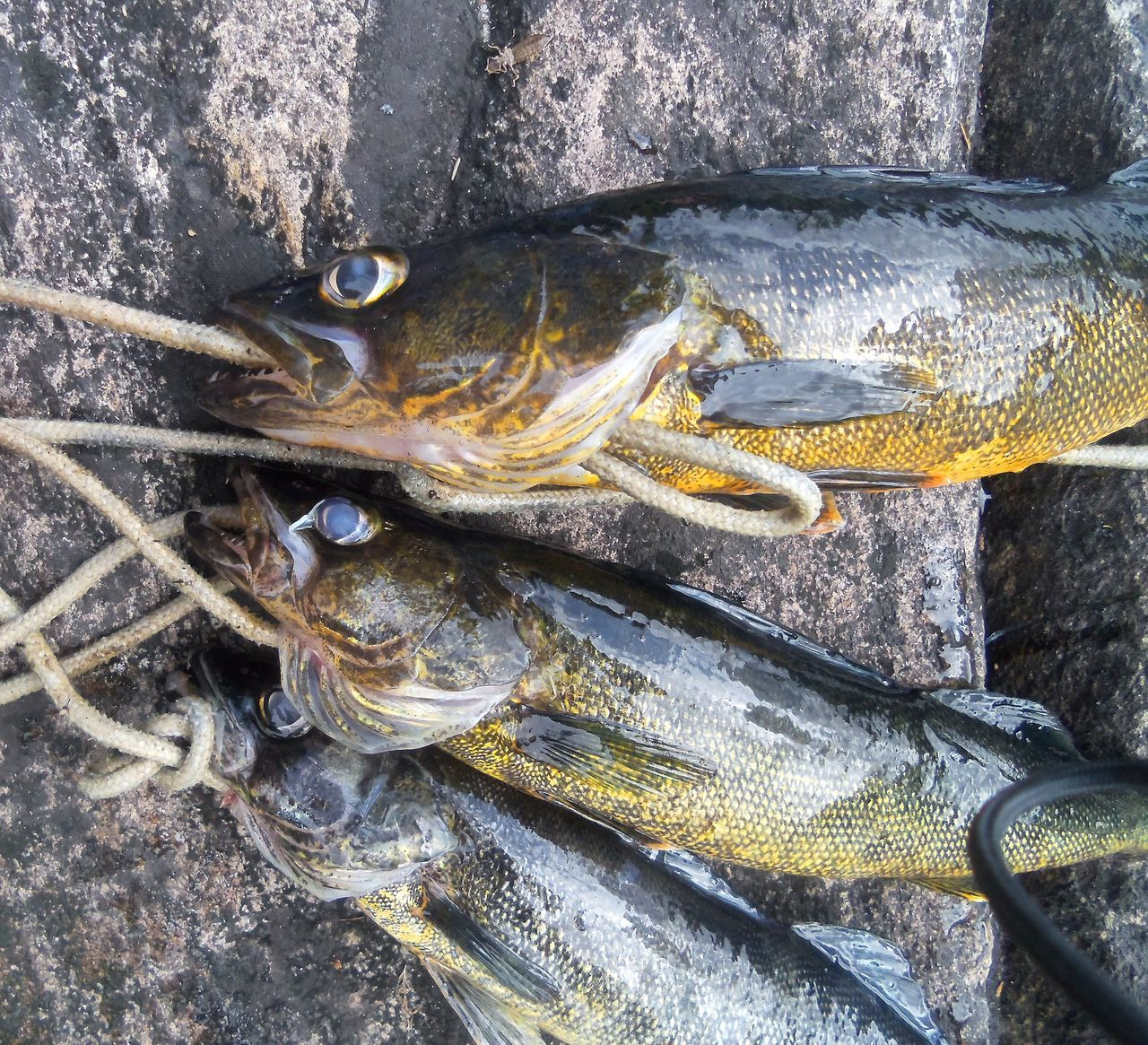 Camping Close-up Day Fish Fishing Freshwater Fish Freshwater Fishing Nature No People Outdoor Life Outdoors Rocks Rope Seafood Shore Stringer Three Fishes Walleye