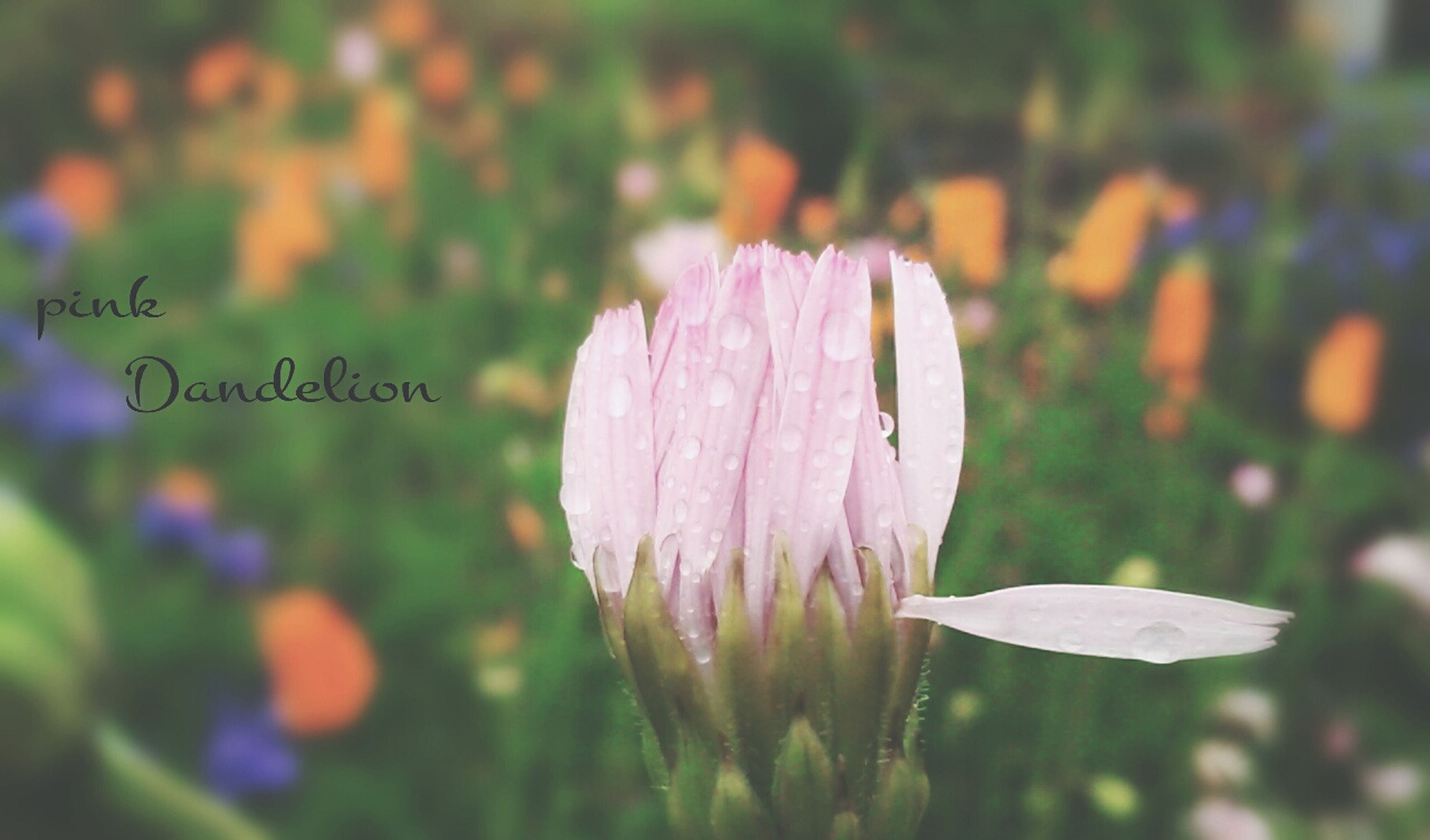 flower, freshness, petal, fragility, growth, focus on foreground, beauty in nature, flower head, close-up, plant, nature, blooming, pink color, field, stem, selective focus, day, outdoors, no people, single flower