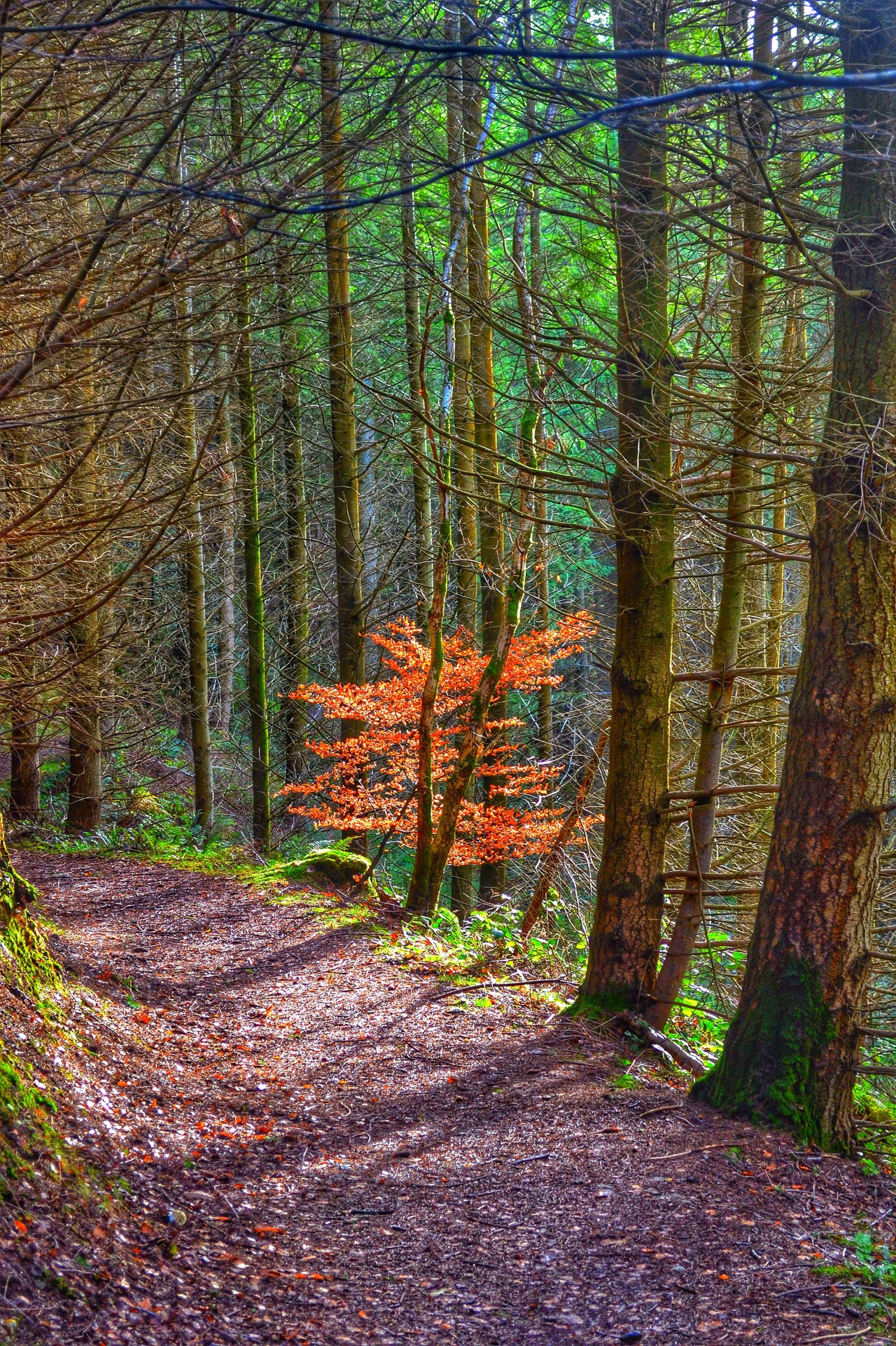 tree, forest, tree trunk, tranquility, woodland, autumn, nature, growth, tranquil scene, beauty in nature, change, the way forward, scenics, leaf, footpath, non-urban scene, landscape, branch, day, season