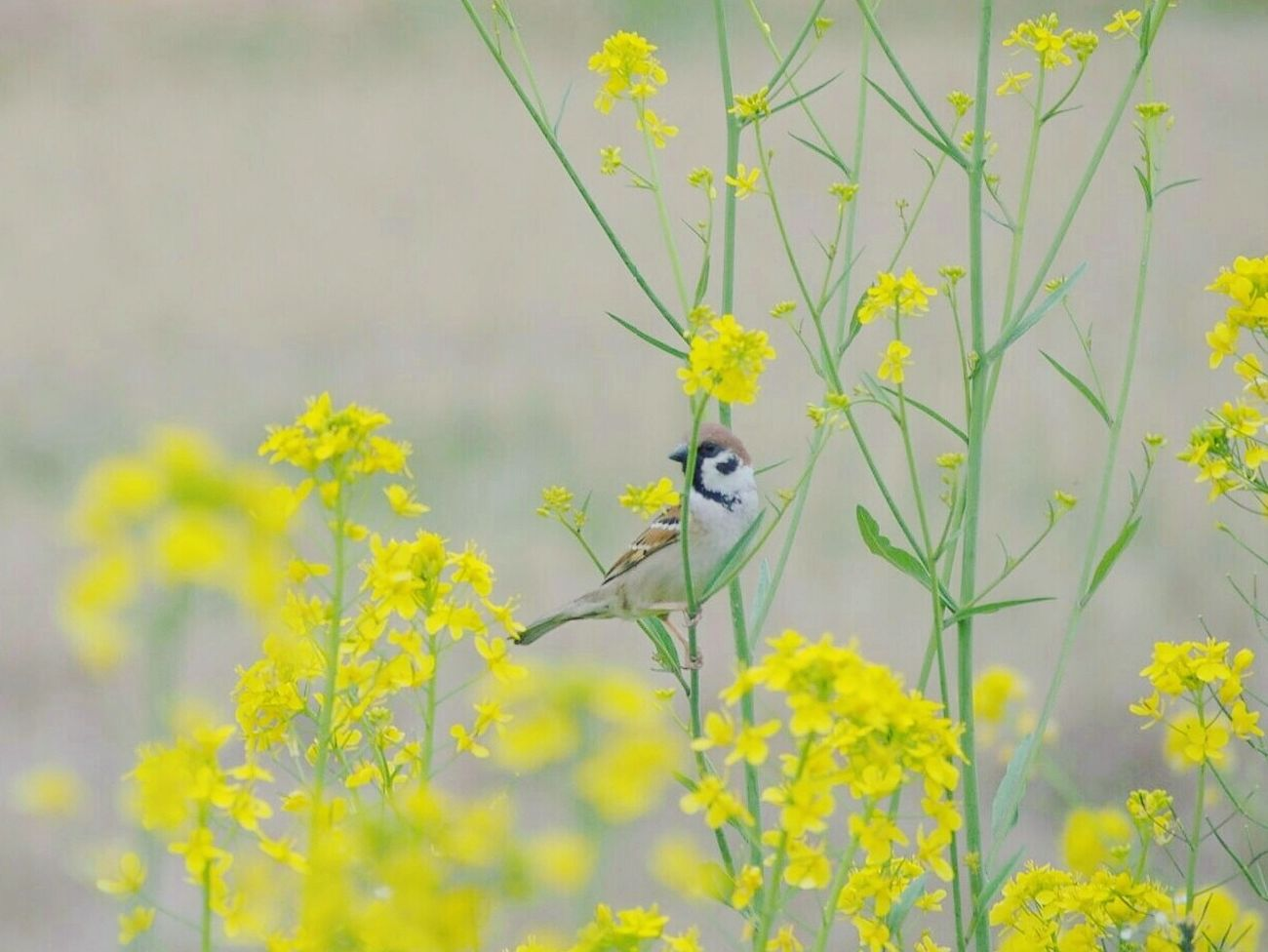 ちゅん♪ちゅん♪ Springtime すずめ Sparrow 菜の花 春 Spring 日だまり My Point Of View Flower Collection Taking Photos Nature EyeEm Nature Lover EyeEm Best Shots EyeEm Gallery Eyemphotography EyeEm Best Shots - Nature Bird One Animal