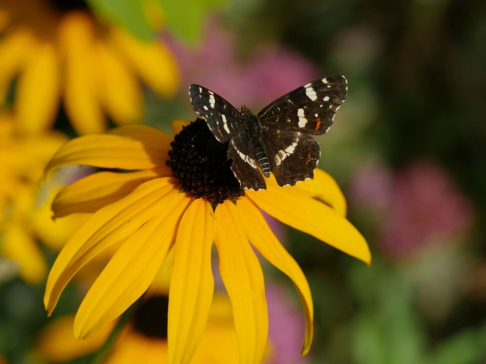 Landkärtchen Butterfly Map Butterfly A Bird's Eye View Animals Coneflower Flowers Fragility Insect Macro Outdoors Petal Pollination Symbiotic Relationship Yellow Flower Animal Themes No People Close-upNature Botany Nature On Your Doorstep From My Point Of View Taking Photos