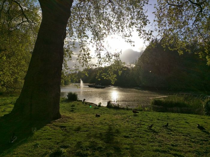 St. James's Park. London St. James's Park London Parks Trees Trees And Nature Lake Ducks At The Lake Ducks Grass Clouds Sun Nature_collection Nature On Your Doorstep Nature_perfection Nature Is Art Central London London Londonlife LONDON❤ London Lifestyle London Calling Nature's Living Room Flowers