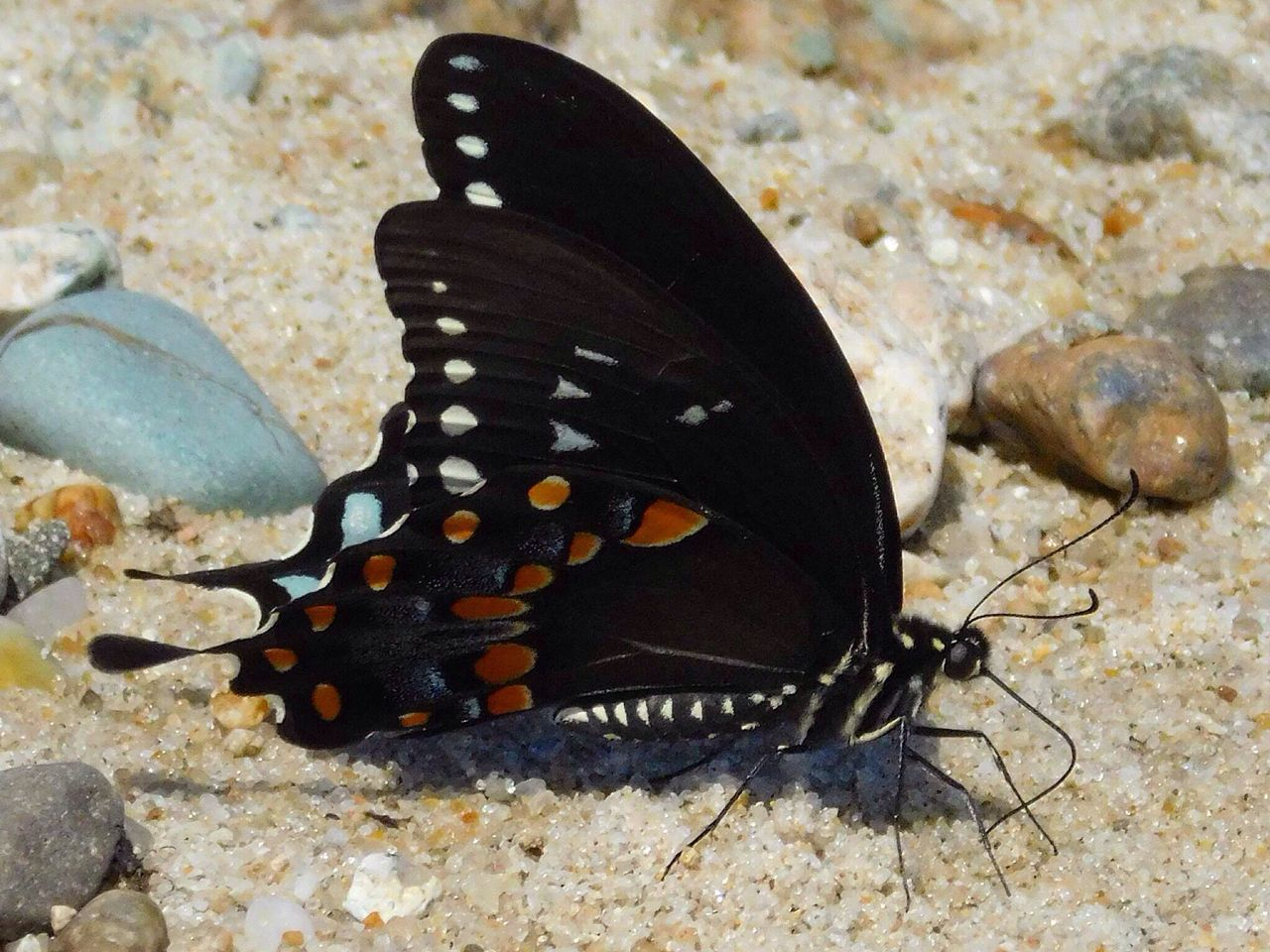 Beach butterfly .... Massachusetts Outside Photography Streamzoofamily New England  Butterfly Butterfly Collection Outdoor Pictures July Showcase July 2016 Beach Photography Beachphotography Sand Beautiful Nature Nature_collection Seaside EyeEm Nature Lover