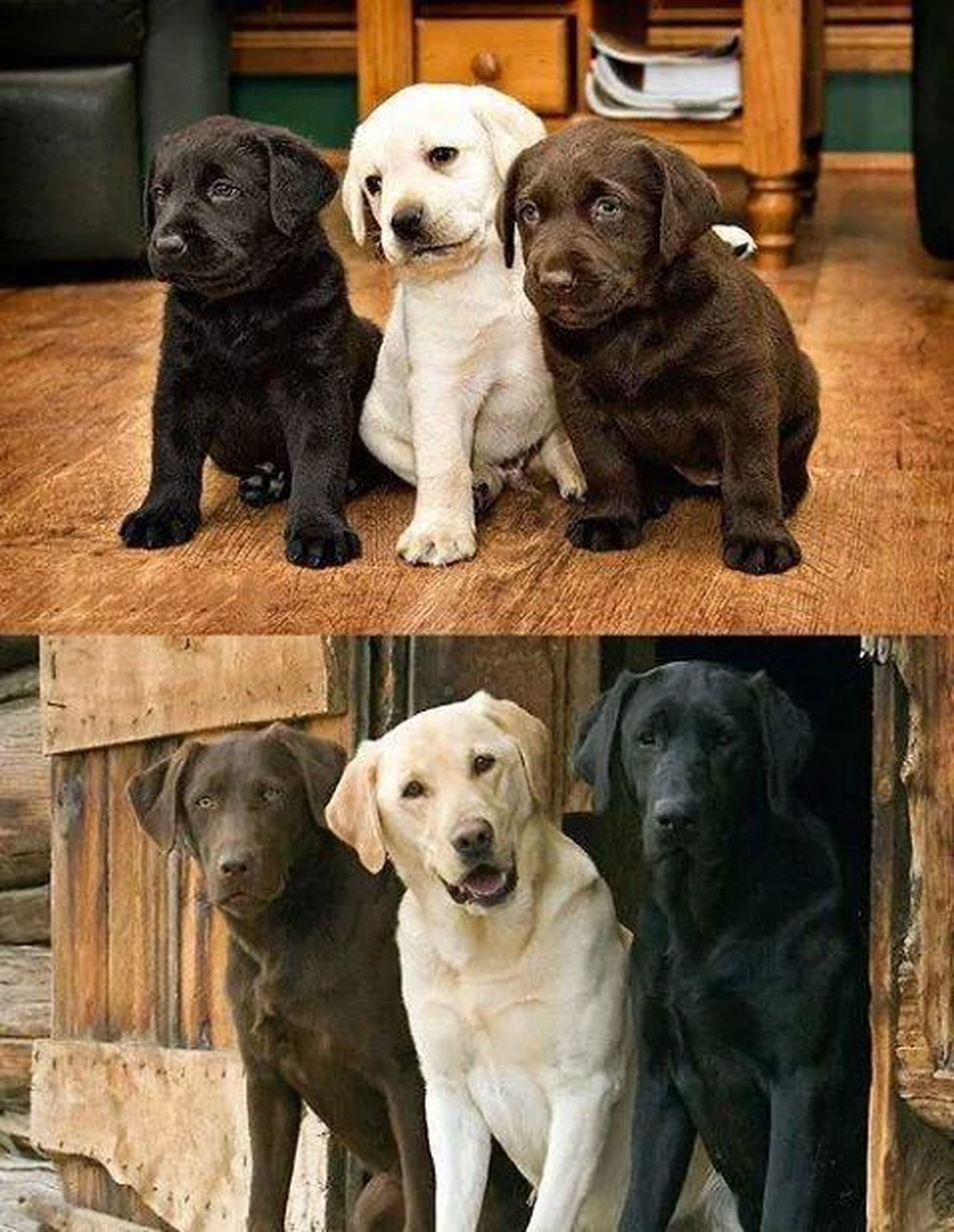 animal themes, domestic animals, mammal, pets, dog, one animal, two animals, looking at camera, portrait, black color, indoors, young animal, togetherness, zoology, sitting, no people, relaxation, three animals, day