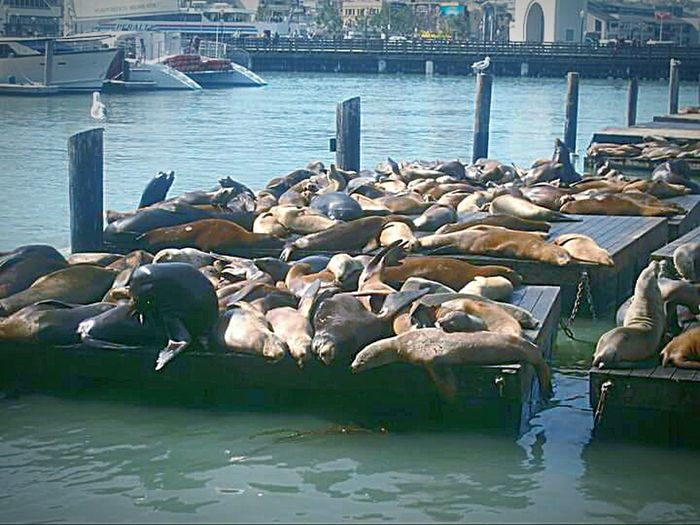 San Francisco Bay Nature Photography This Week On Eyeem My Point Of View My Photography San Francico Water Pier 39 Sea Lions In San Francisco Sea Lions