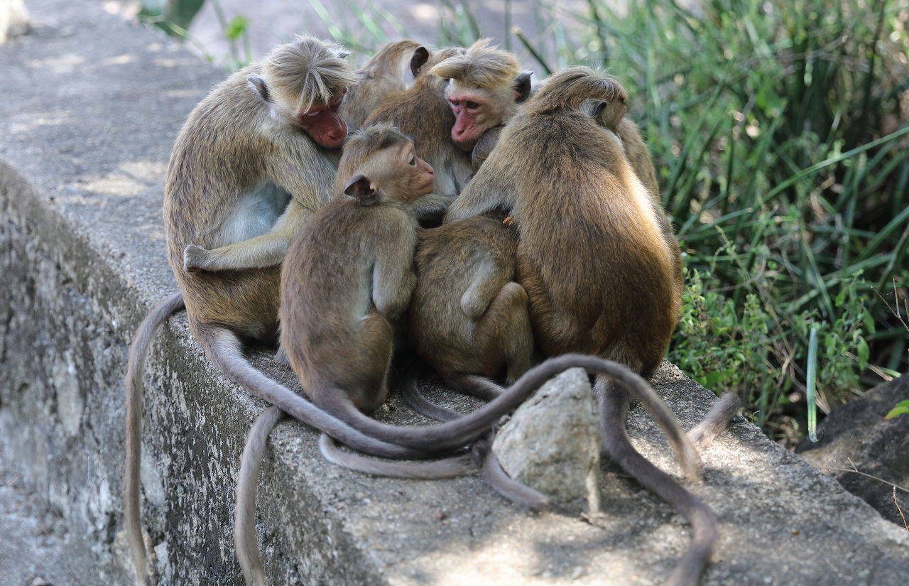Baboon Family Sitting On Retaining Wall