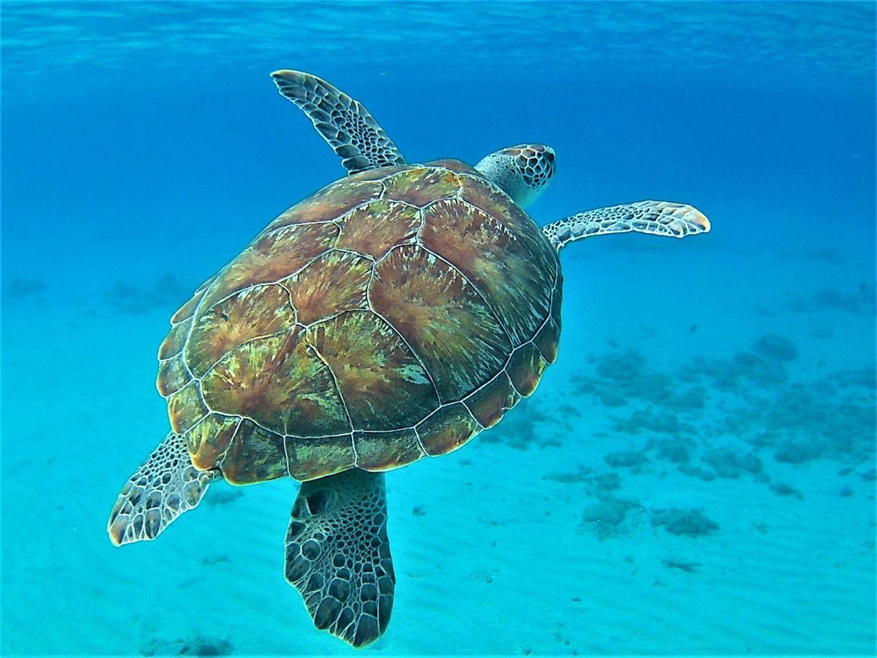 Hawksbill Turtle Underwater Sea Life UnderSea Sea Turtle Scuba Diving Curacao Summer Blue Snorkeling Animals In The Wild Wildlife Westpunt Hawksbill