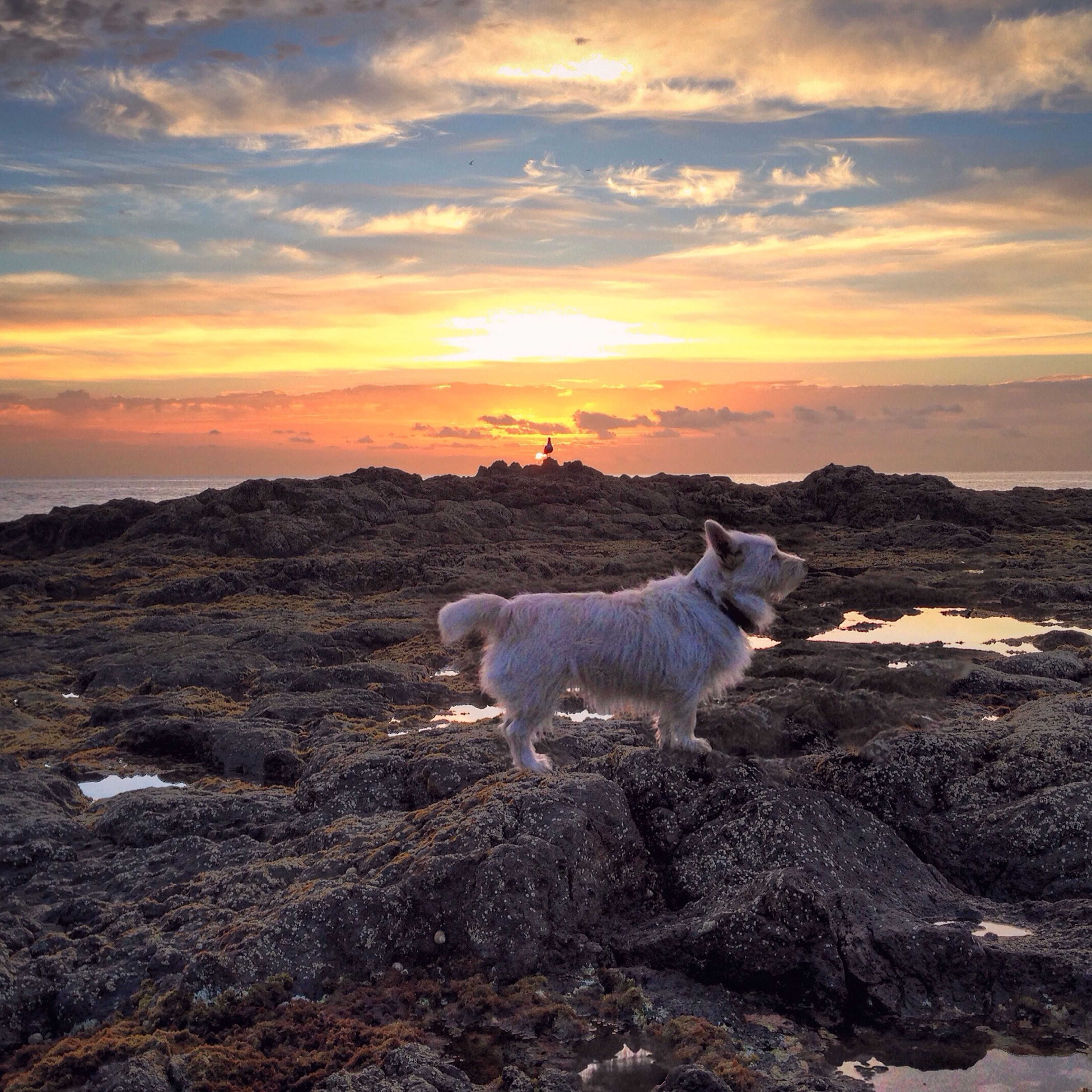 animal themes, sunset, mammal, domestic animals, one animal, sky, cloud - sky, nature, water, beauty in nature, standing, rock - object, scenics, tranquil scene, orange color, sunlight, sun, outdoors, tranquility, full length