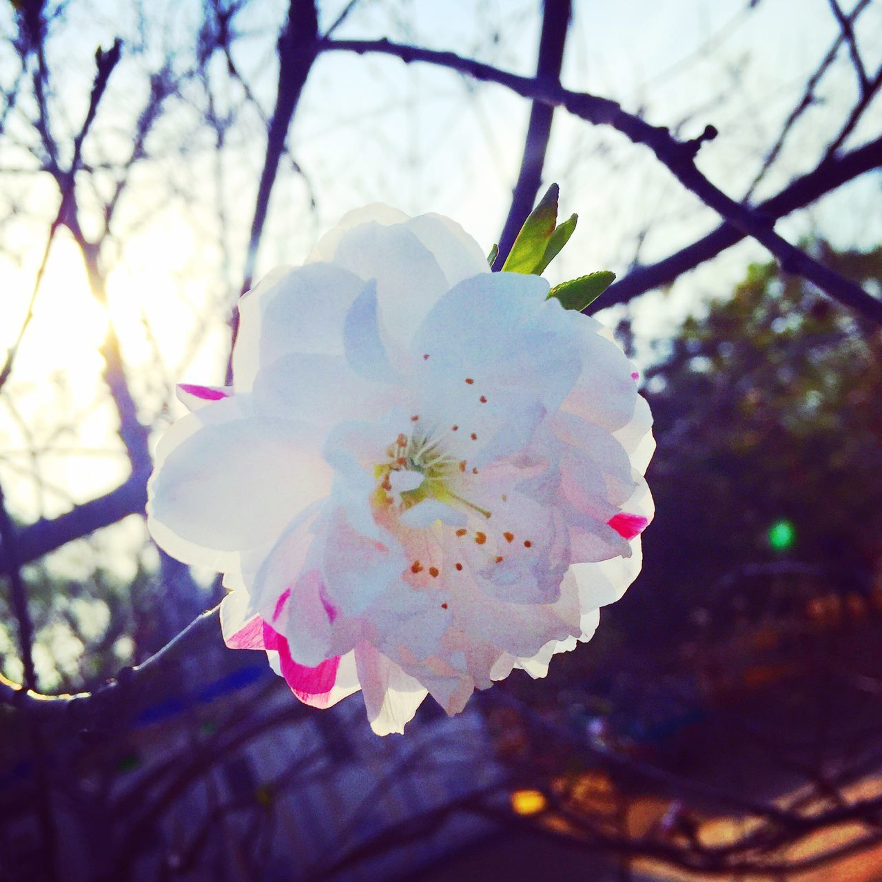 flower, beauty in nature, fragility, blossom, tree, nature, growth, springtime, branch, white color, petal, apple blossom, freshness, twig, botany, no people, flower head, day, close-up, stamen, orchard, plum blossom, outdoors, pink color, low angle view, blooming, sky