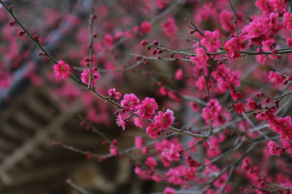 Beauty In Nature Blossom Branch Close-up EyeEm Nature Lover First Eyeem Photo Flower Flower Head Fragility Freshness Getting Inspired Growth Hello World Light And Shadow Millennial Pink Nature Outdoors Petal Pink Pink Color Plant Plum Blossom Spring Taking Photos Tree EyeEmNewHere