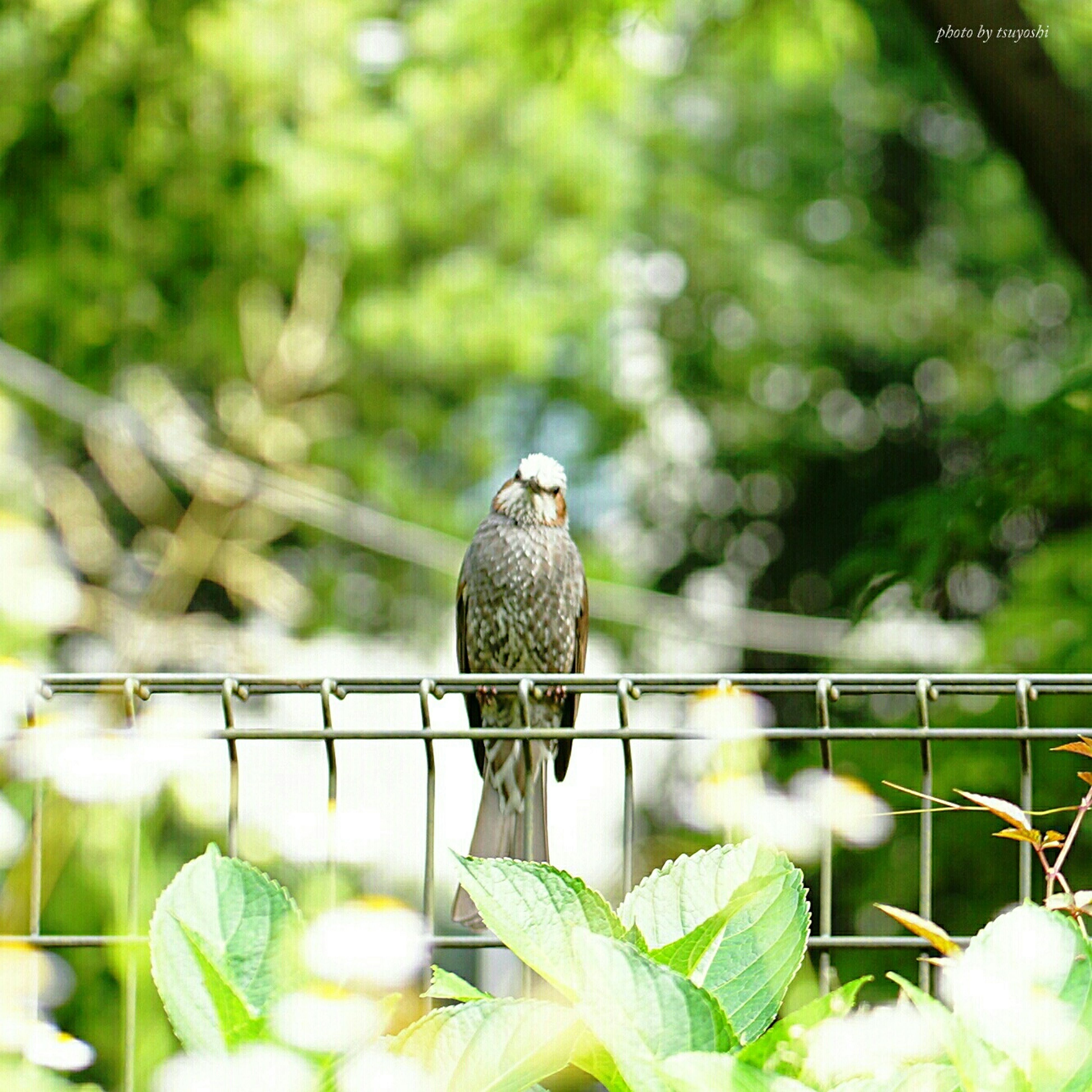 focus on foreground, animal themes, one animal, metal, fence, railing, close-up, animals in the wild, chainlink fence, leaf, green color, plant, wildlife, perching, bird, nature, selective focus, protection, day, outdoors