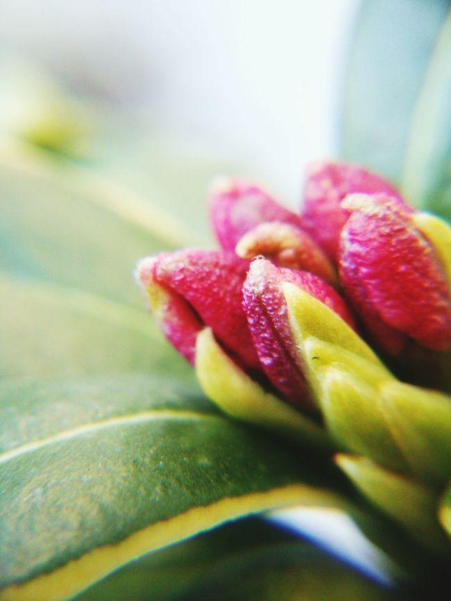 もうじき君はかぐわしい香りを放つ………沈丁花つぼみ Nautre Flower 香り