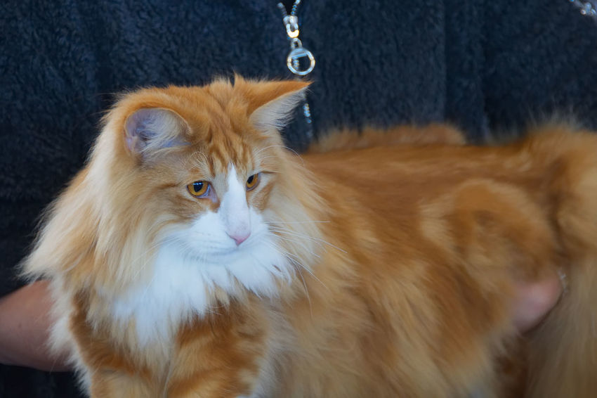 Red and white maine coon cat BIG Beautiful Hair Portraits Red Animal Themes Beauty Beauty In Nature Big Cat Cat Close-up Color Domestic Animals Domestic Cat Feline Focus On Foreground Indoors  Maine Coon Mainecoon Mammal One Animal Pet Pets Portrait White