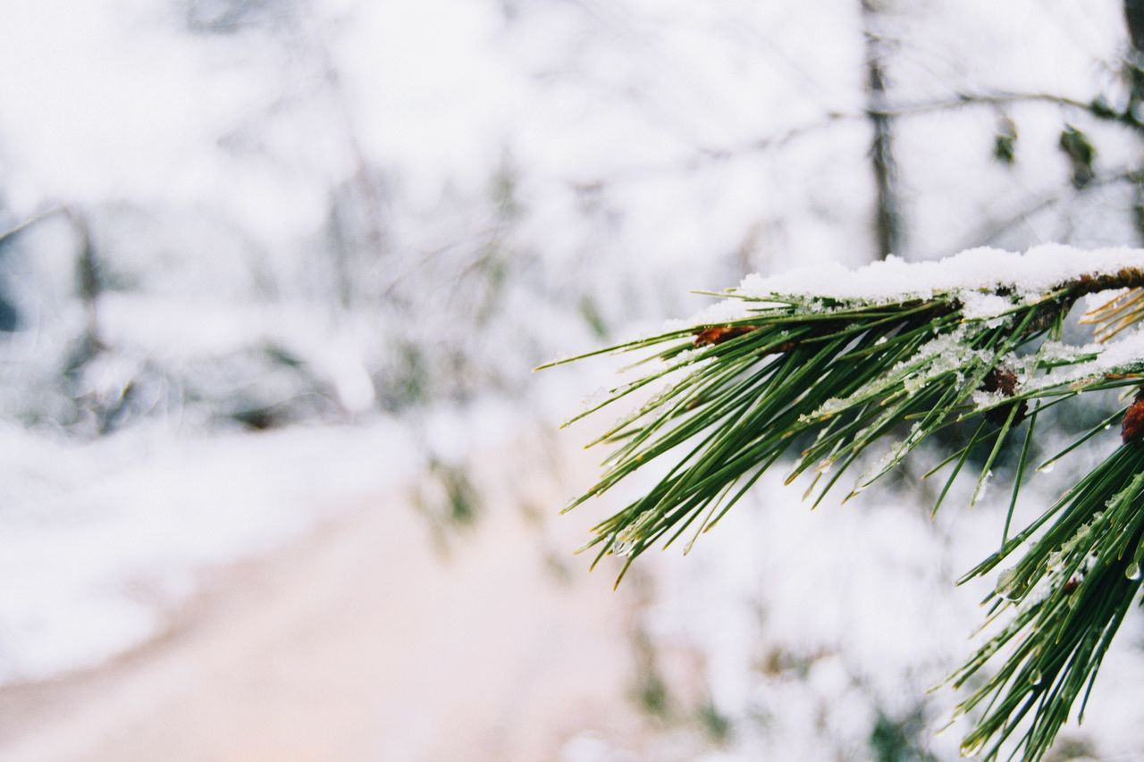 Beautiful stock photos of snow, Branch, Castellar del Vallès, Close-Up, Cold Temperature