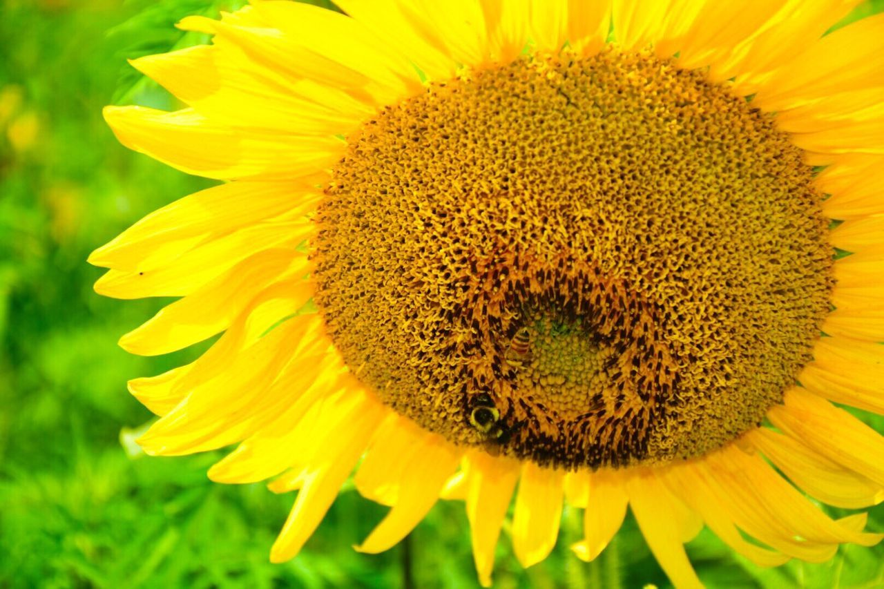 flower, yellow, fragility, petal, beauty in nature, flower head, freshness, nature, growth, sunflower, close-up, plant, pollen, blooming, outdoors, no people, springtime, day