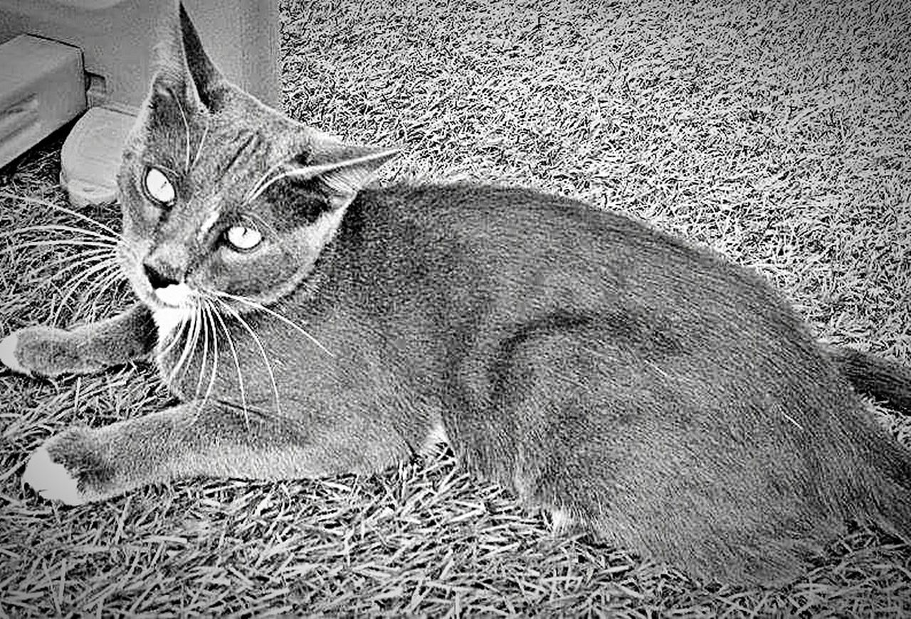 domestic cat, animal themes, one animal, domestic animals, pets, mammal, feline, whisker, no people, lying down, sitting, day, portrait, outdoors, close-up