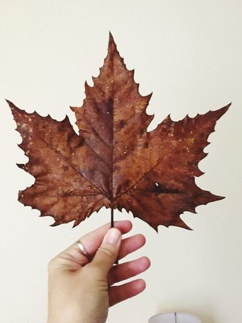 Giant Leaf Autumn Leaf Change Maple Leaf Maple Dry Human Hand Close-up One Person Holding White Background Real People Nature Human Body Part Day Outdoors Beauty In Nature Autumn